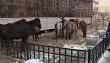 Управление сельского хозяйства г. Якутска: «Ситуация с безнадзорными лошадьми постепенно налаживается»
