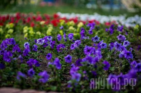 В Якутске высажено около 1 миллиона цветов