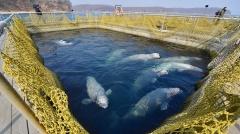 Россиян призывают проголосовать за запрет добычи (вылова) китообразных в учебных и культурно-просветительских целях