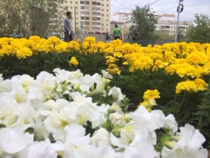 В Якутске на сегодня высажено 200 тысяч цветов